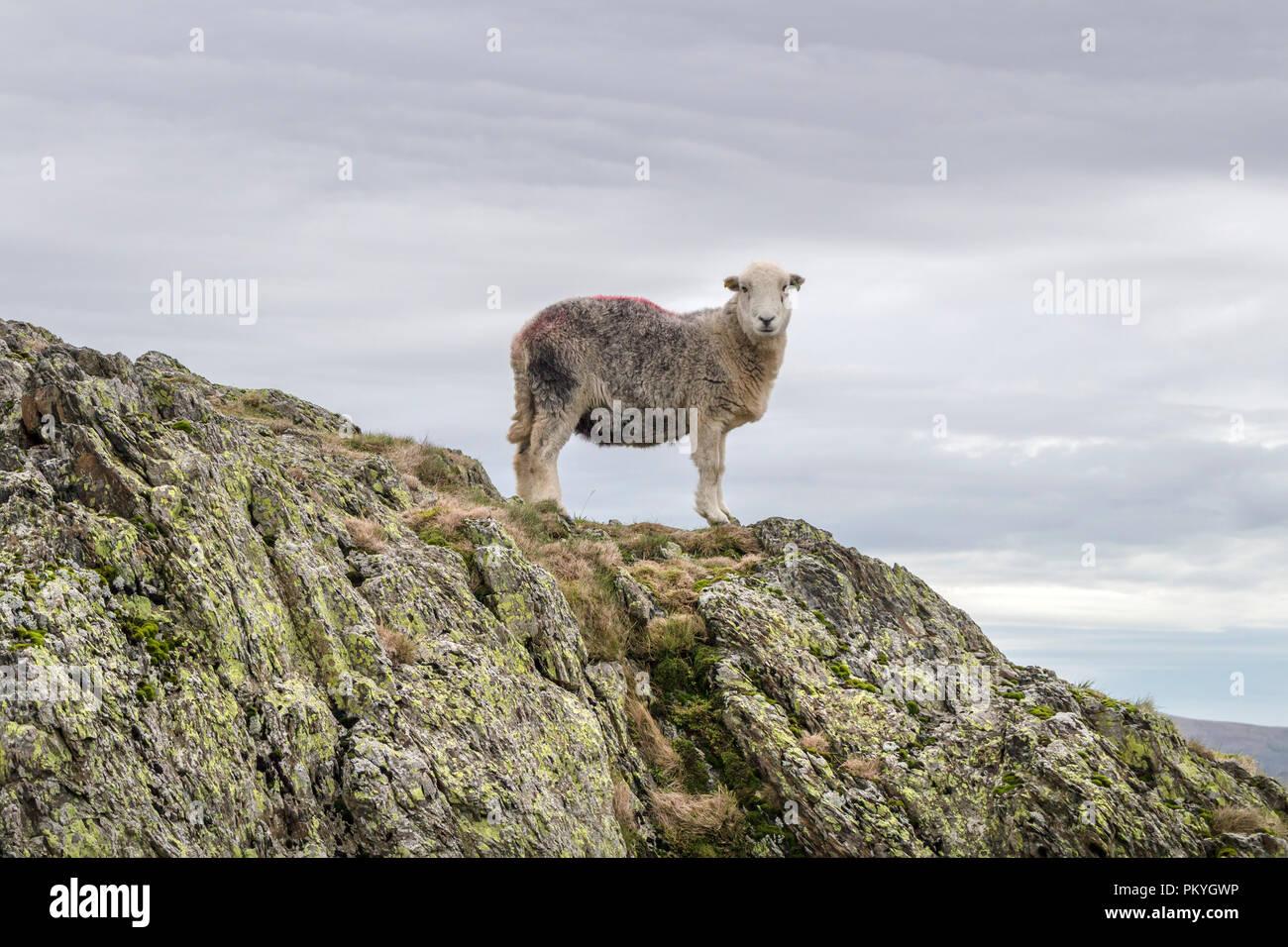 Herdwick Sheep, Lake District, Cumbria, UK - Stock Image