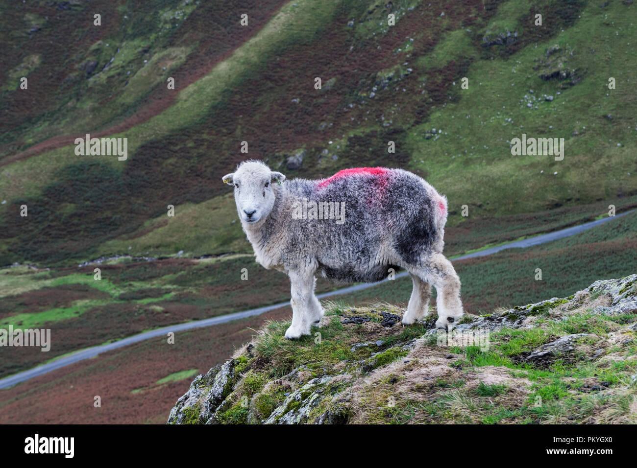 Herdwick Sheep on a Lakeland Fell, Lake District, Cumbria, UK - Stock Image
