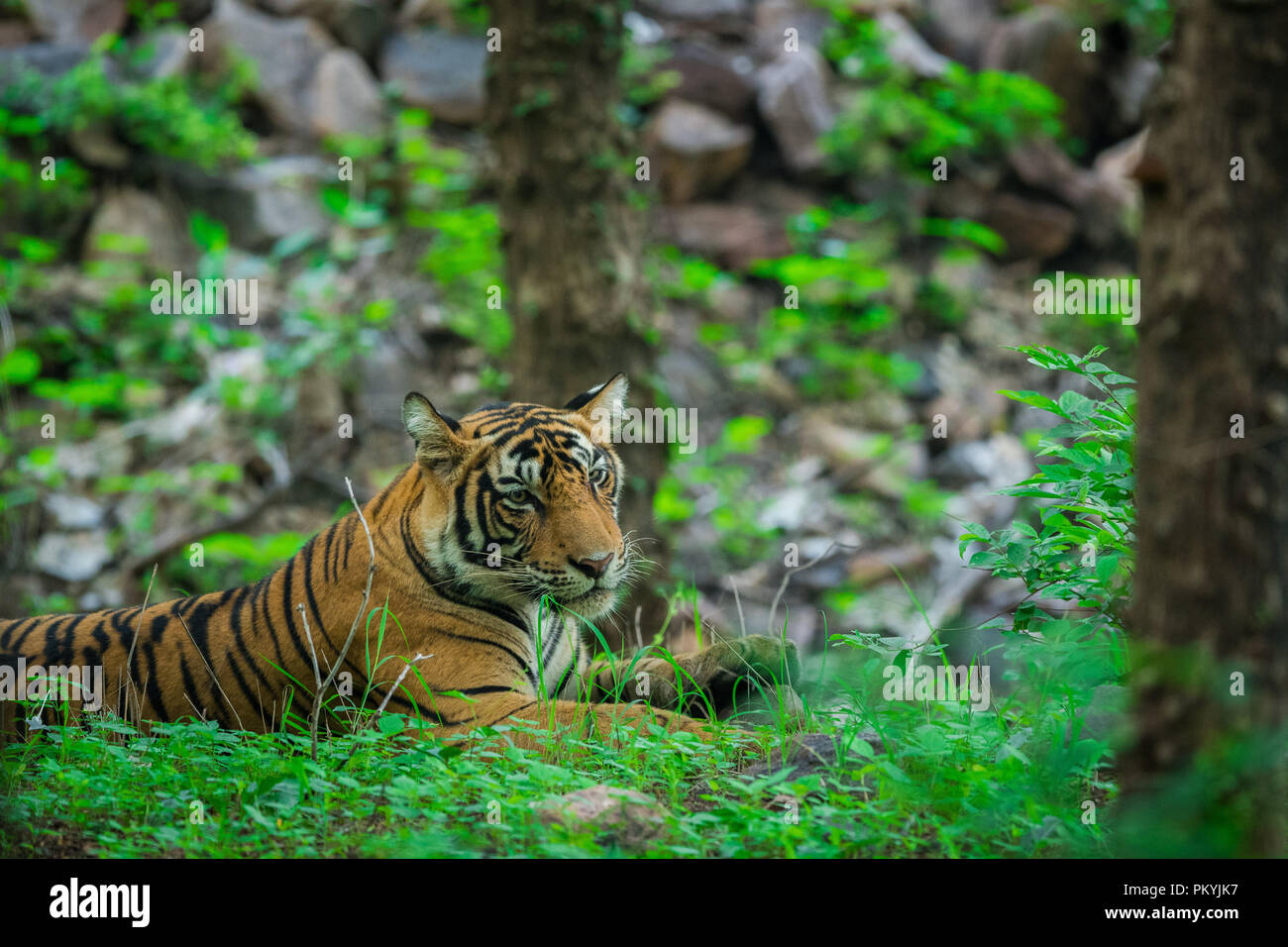 A male tiger resting in monsoon rains and lush green park at ranthambore national park Stock Photo