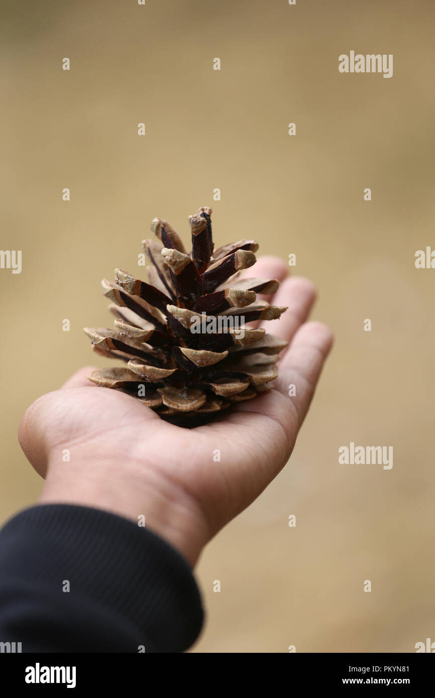 Hand holding pine cone nature outdoor - Stock Image