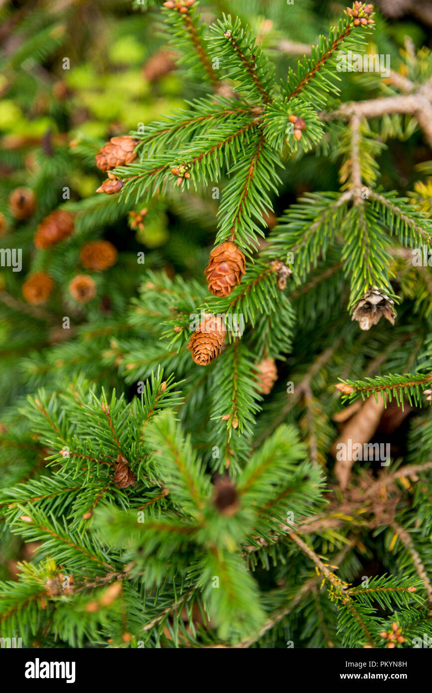 Picea Abies Pusch The Norway Spruce Is A Species Of Spruce Native
