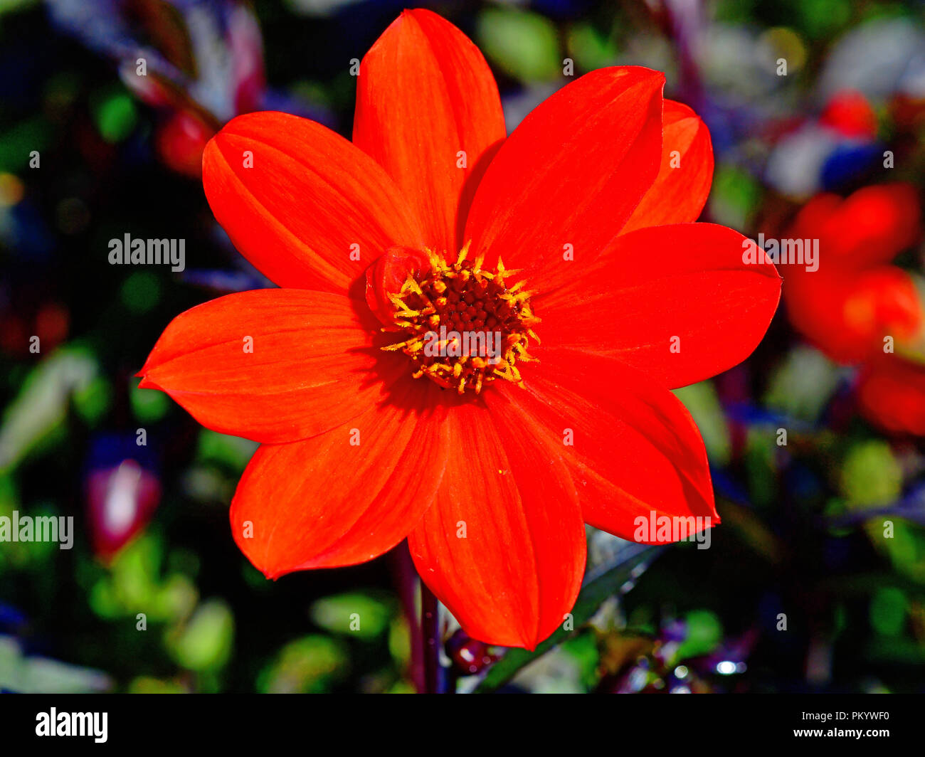 Red Flower With Yellow Stamens And Magenta Centre Colourful Blurred
