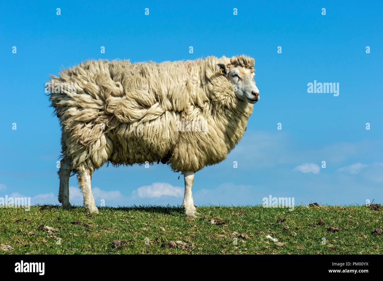 Texel sheep against blue sky, marshland at the North Sea coast, Schleswig-Holstein, Germany - Stock Image