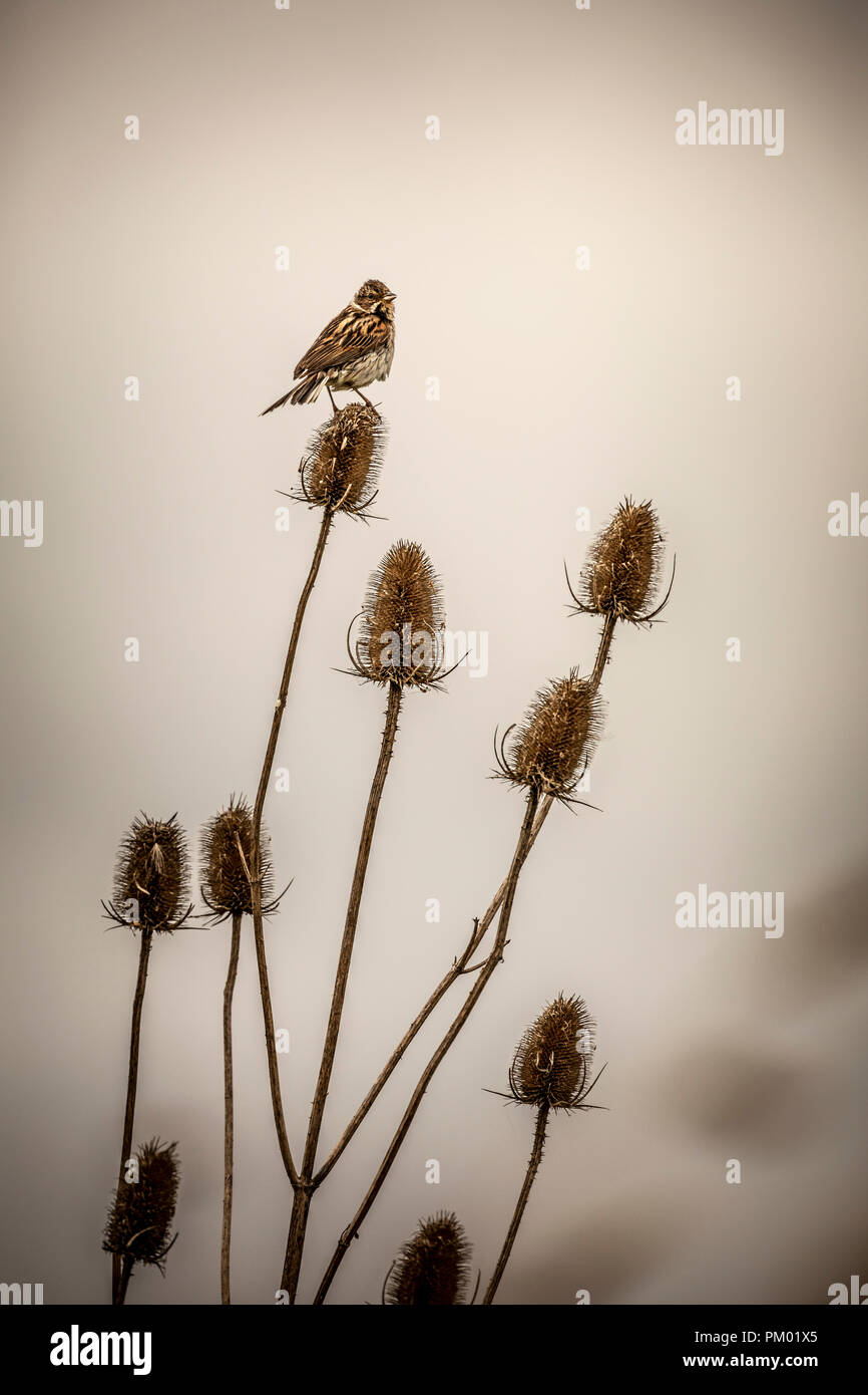 Skylark sat on teasel in the Frampton RSPB Reserve, Lincolnshire, England. - Stock Image