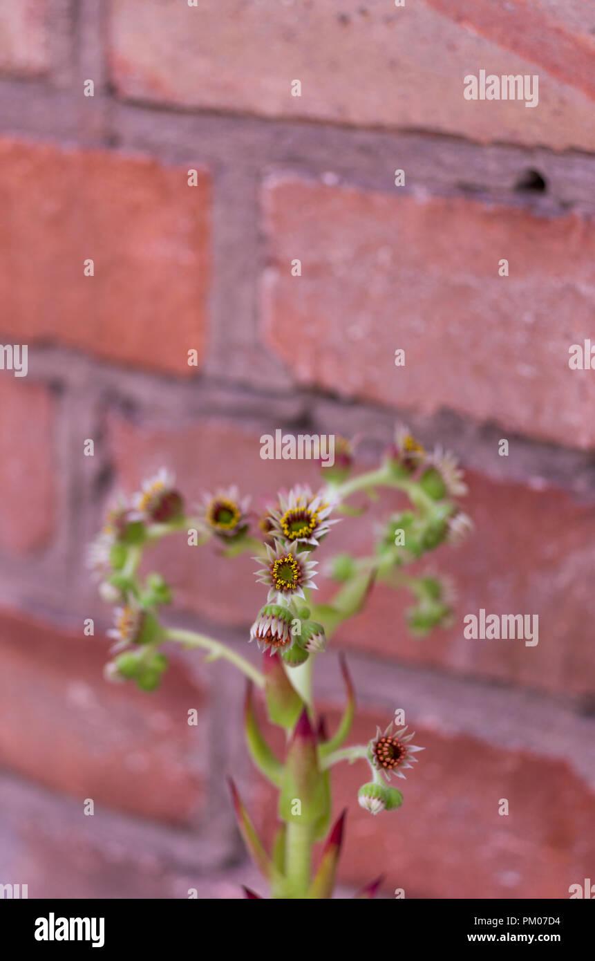 Sempervivum is blooming. Brick background. Vertical shot. Stock Photo