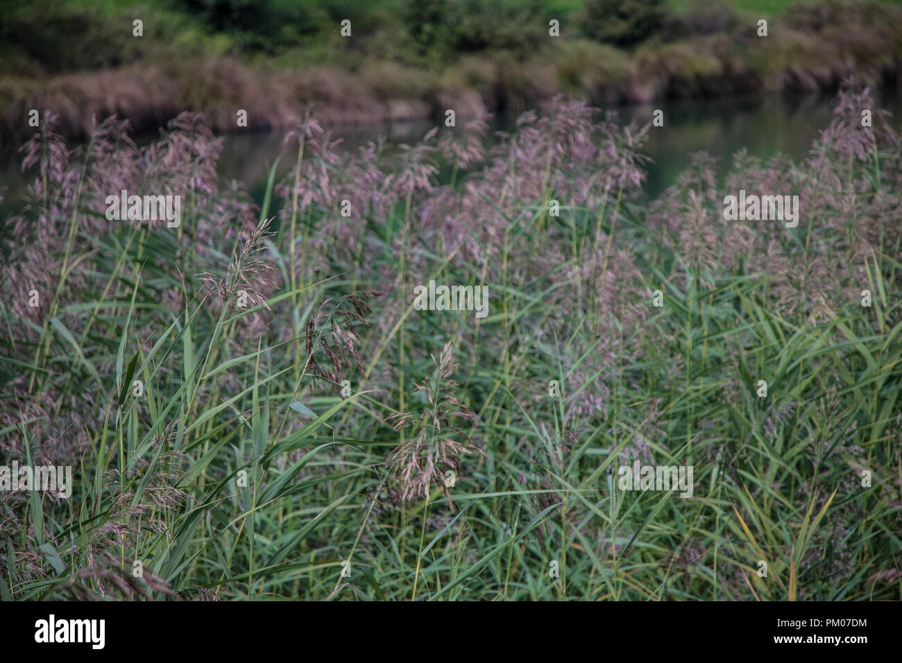 Reed Plants Stock Photos Reed Plants Stock Images Alamy