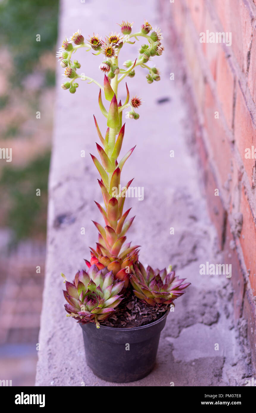 Flower near the brick wall. Flowering plant. Stock Photo