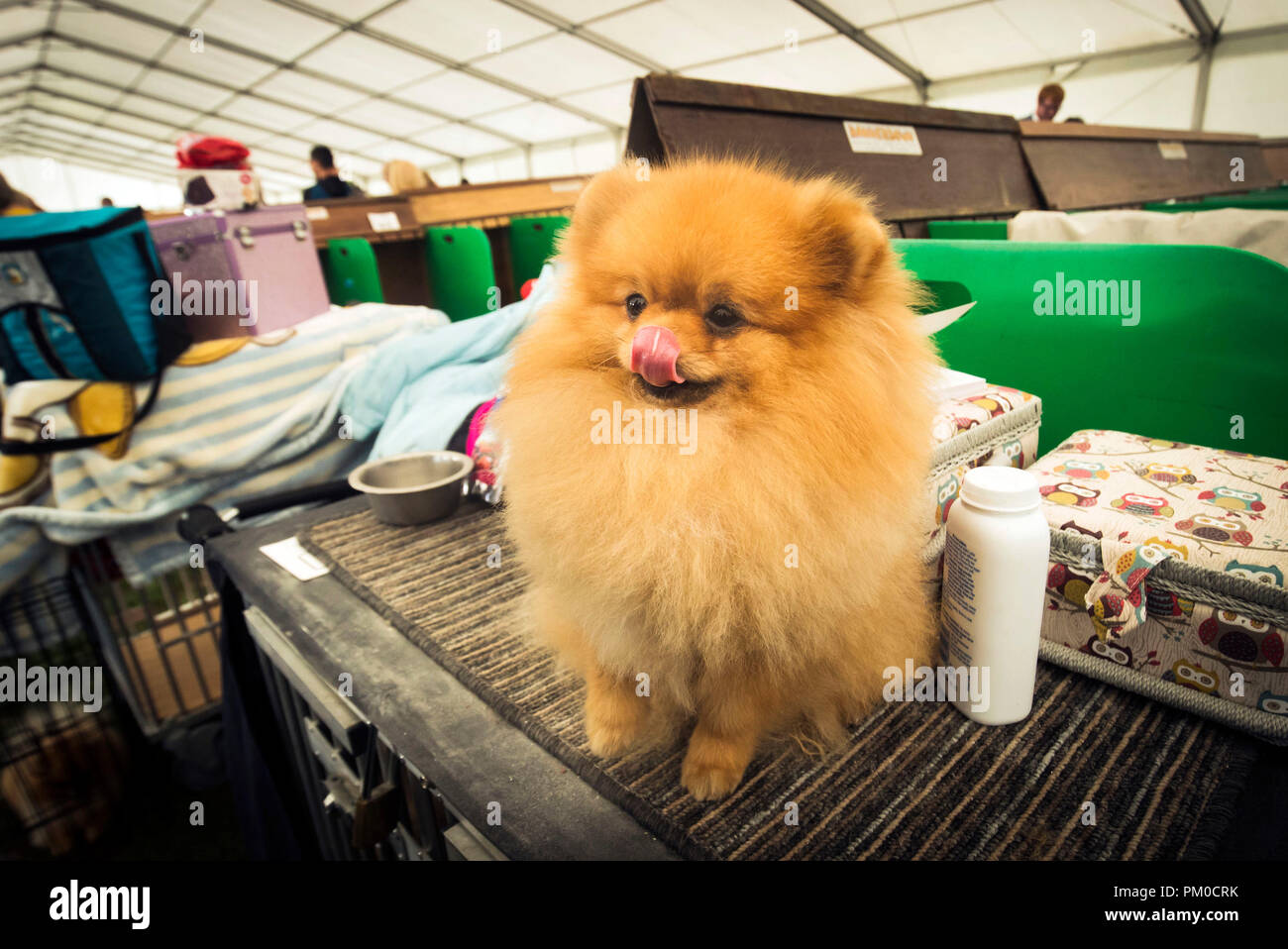 Pomeranian In Dog Show High Resolution Stock Photography And