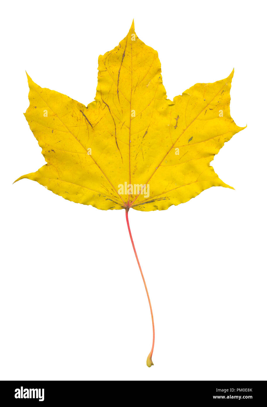 Colorful dry fallen maple tree leaf. Warm colors of the golden autumn. Isolated on white background. Can be used as a building block in a fall season  Stock Photo