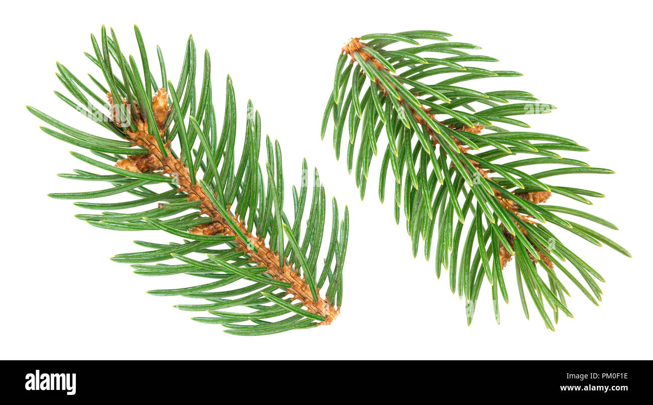 Fir tree branch isolated on white background - Stock Image