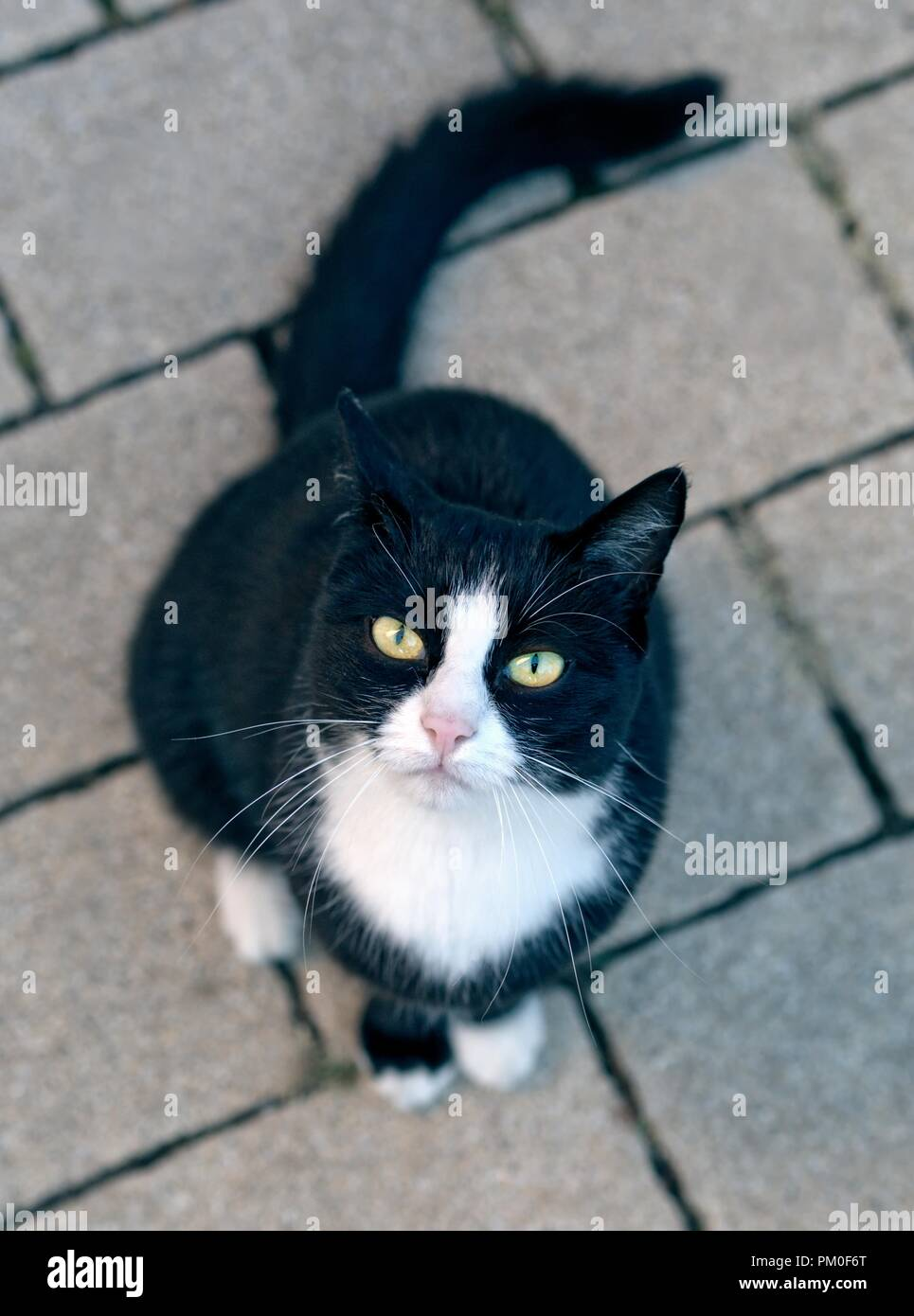 Stray tuxedo cat looking curious up to ther camera. - Stock Image