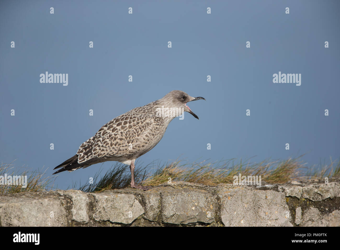 Juvenile Herring Gull Larus argentatus in profile calling loudly from the top of a stone wall - Stock Image