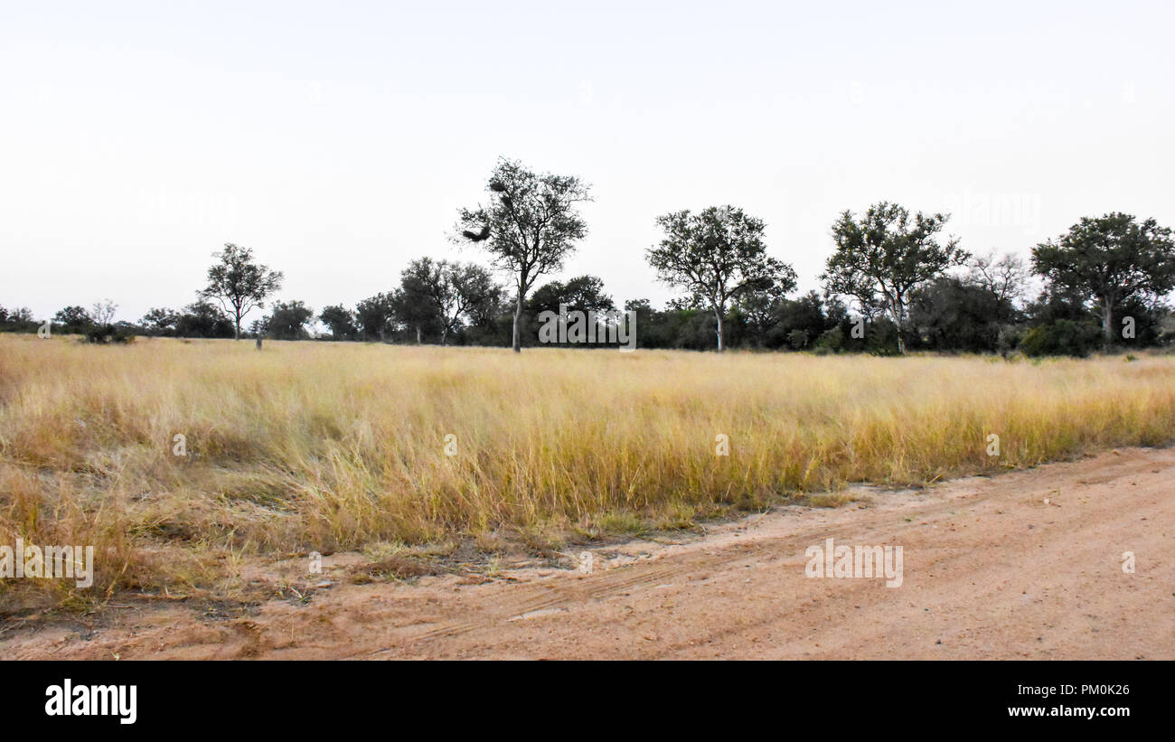 A late afternoon African landscape in the wild with dry grass, clear skies and trees in the bush. It is a serene scene along a corrugated road. - Stock Image