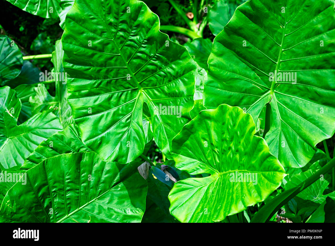 Alocasia macrorrhizos is a species of flowering plant in the arum family, Araceae, that it is native to rainforests from Malaysia to Queensland in the - Stock Image