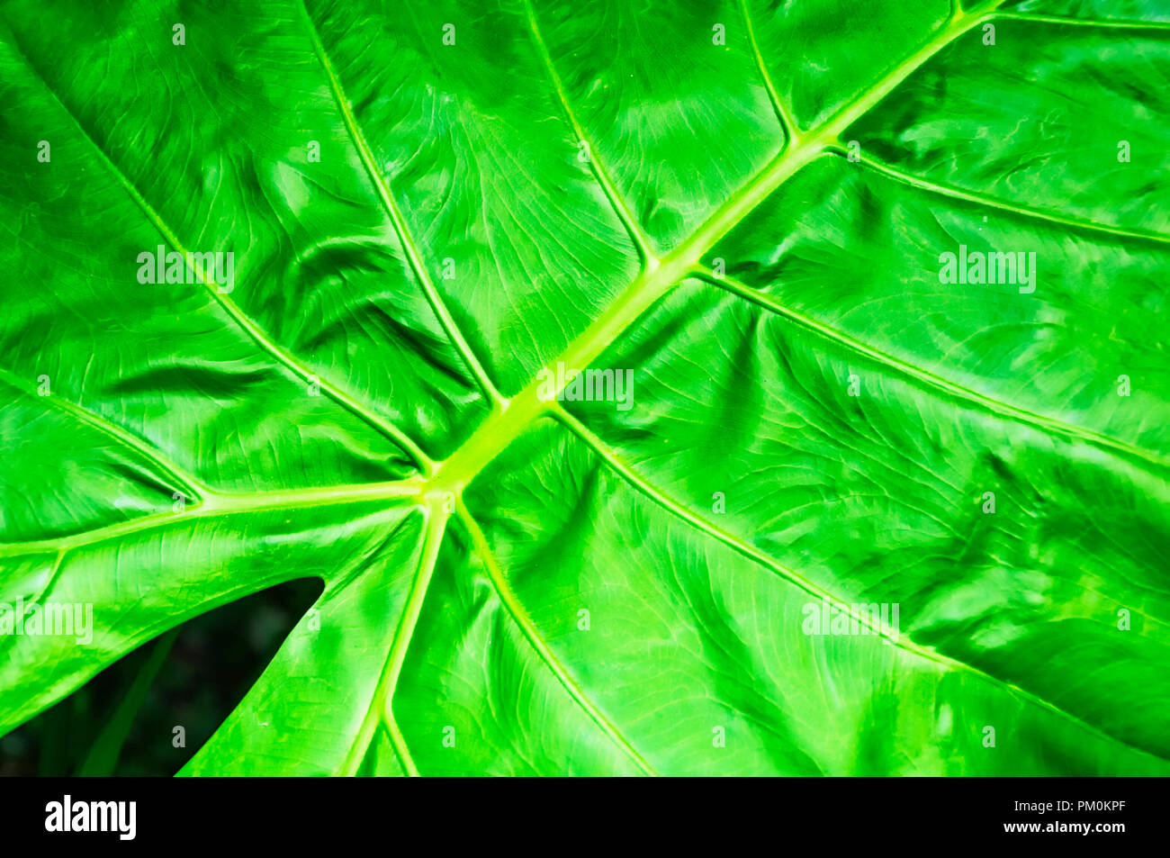 A closeup of the Alocasia macrorrhizos plant in the arum family, Araceae, that it is native to rainforests from Malaysia to Queensland in the Taipei T - Stock Image