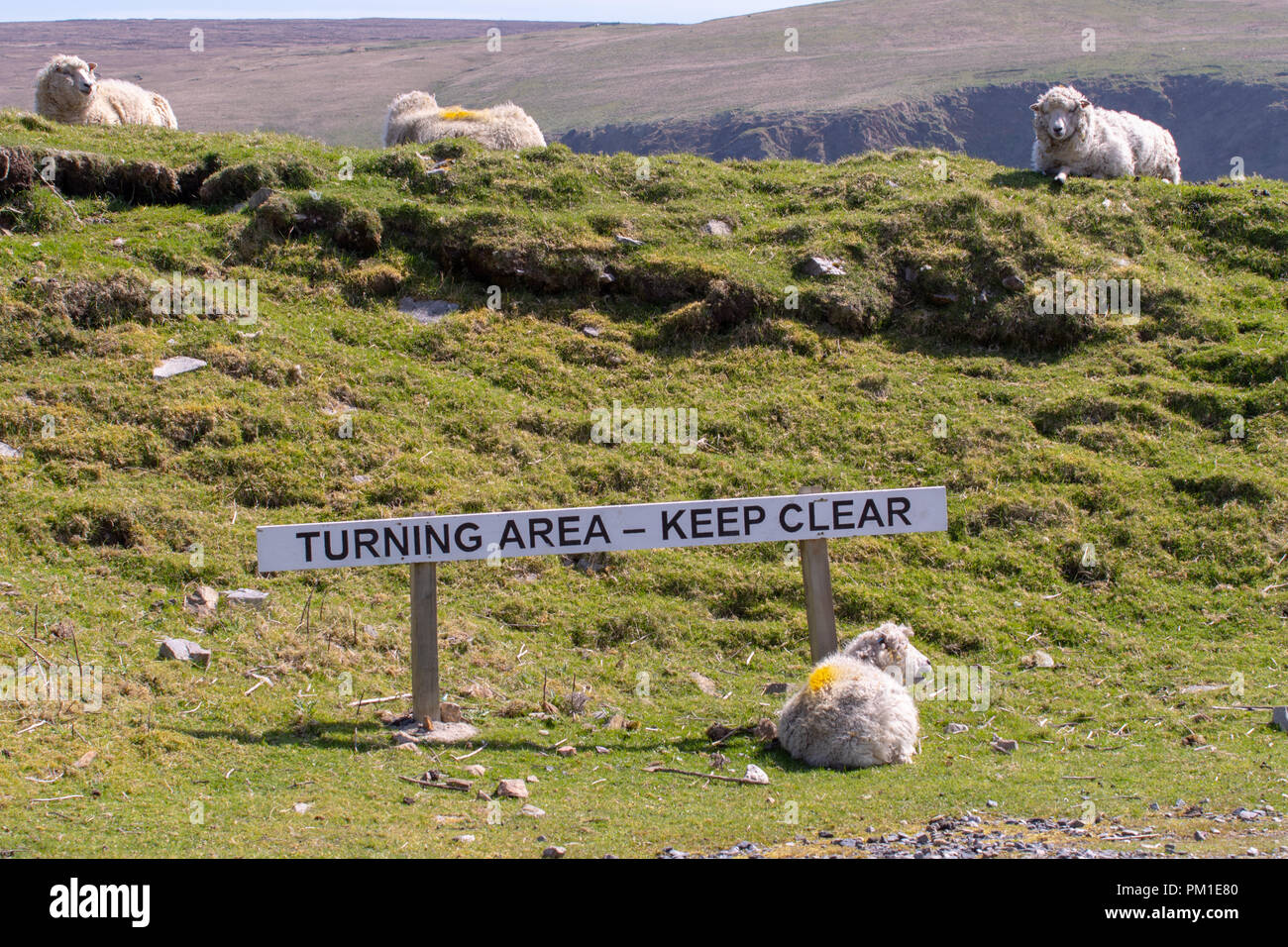 Sheep lie next to a sign indicating the turning area at the end of the road at Hermanness, on the island of. Unst, the most northerly road in Britain Stock Photo