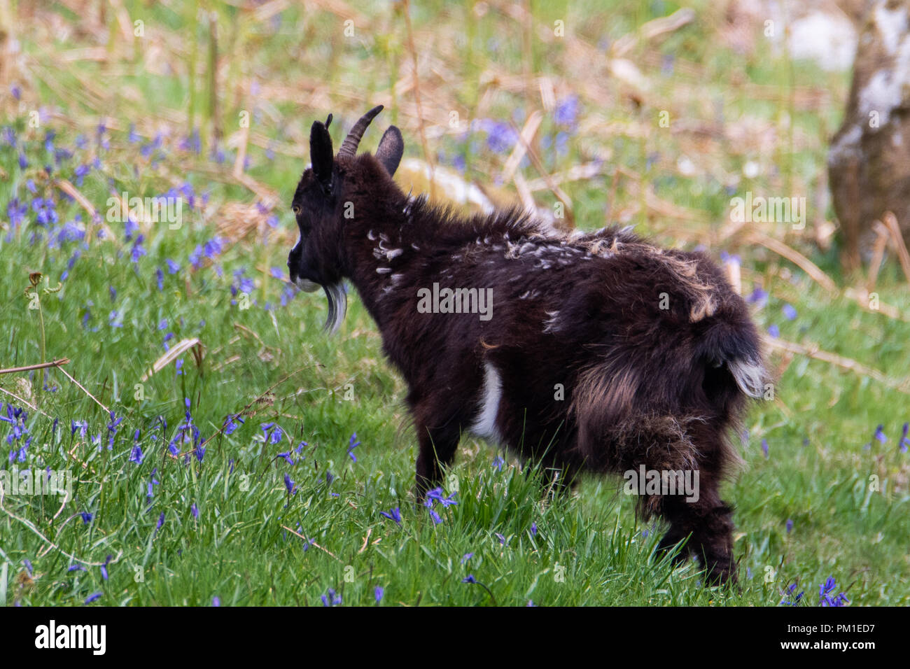 A young goat climbs onto a moss covered rock in Southern Scotland. - Stock Image