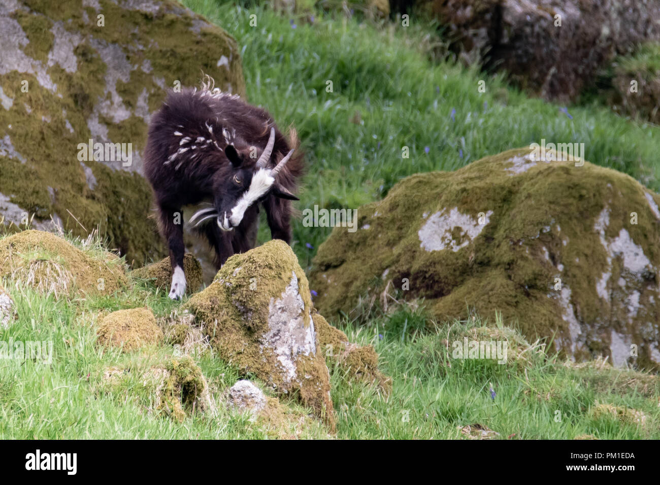 A wild goat climbs onto a moss covered rock in Southern Scotland. - Stock Image