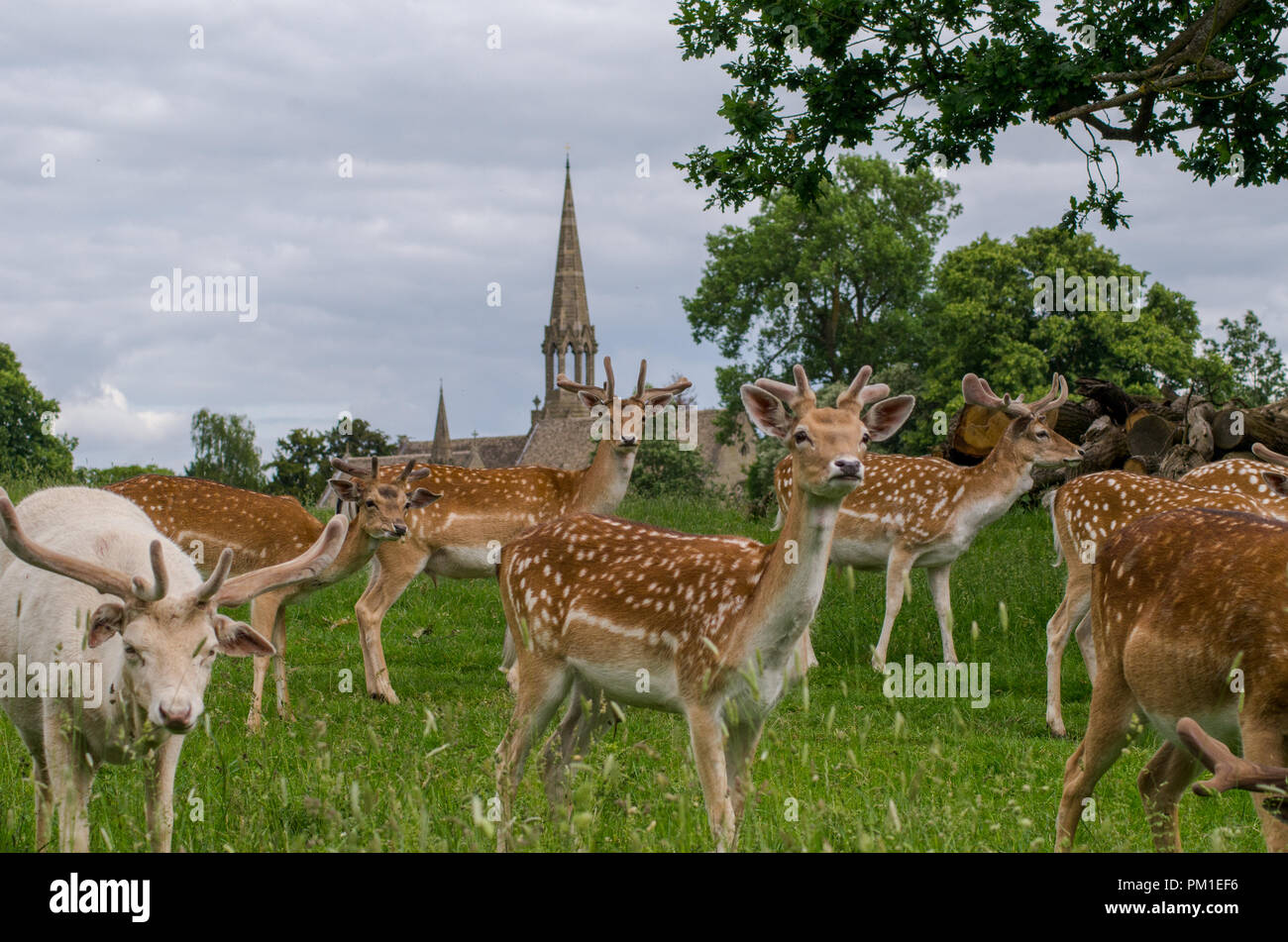 A herd of fallow deer graze in a long grassed meadow, with a traditional English church steeple in the background. One of the deer is looking directly - Stock Image