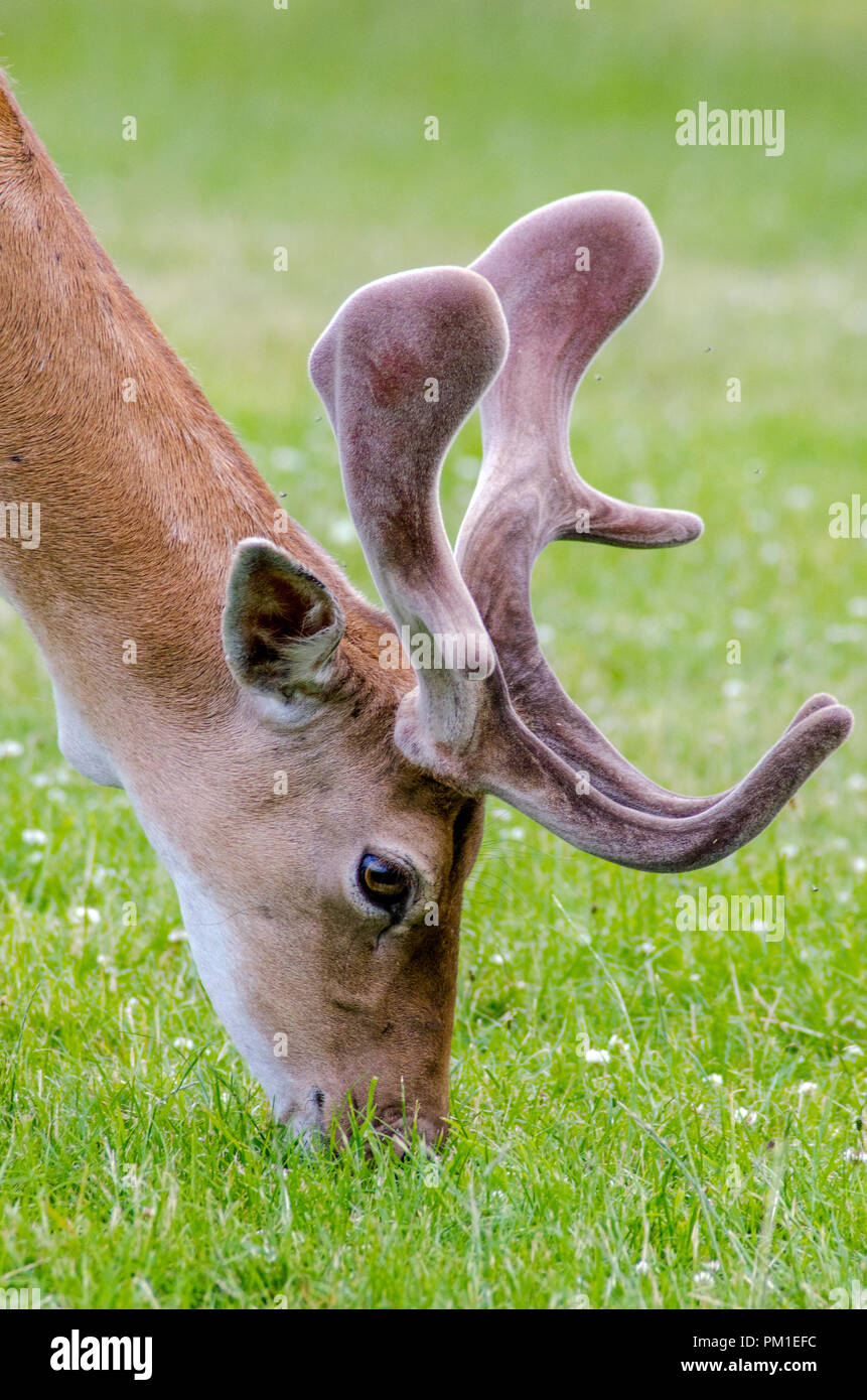 A side view of a fallow deer as it grazes on the grass in the meadow - Stock Image