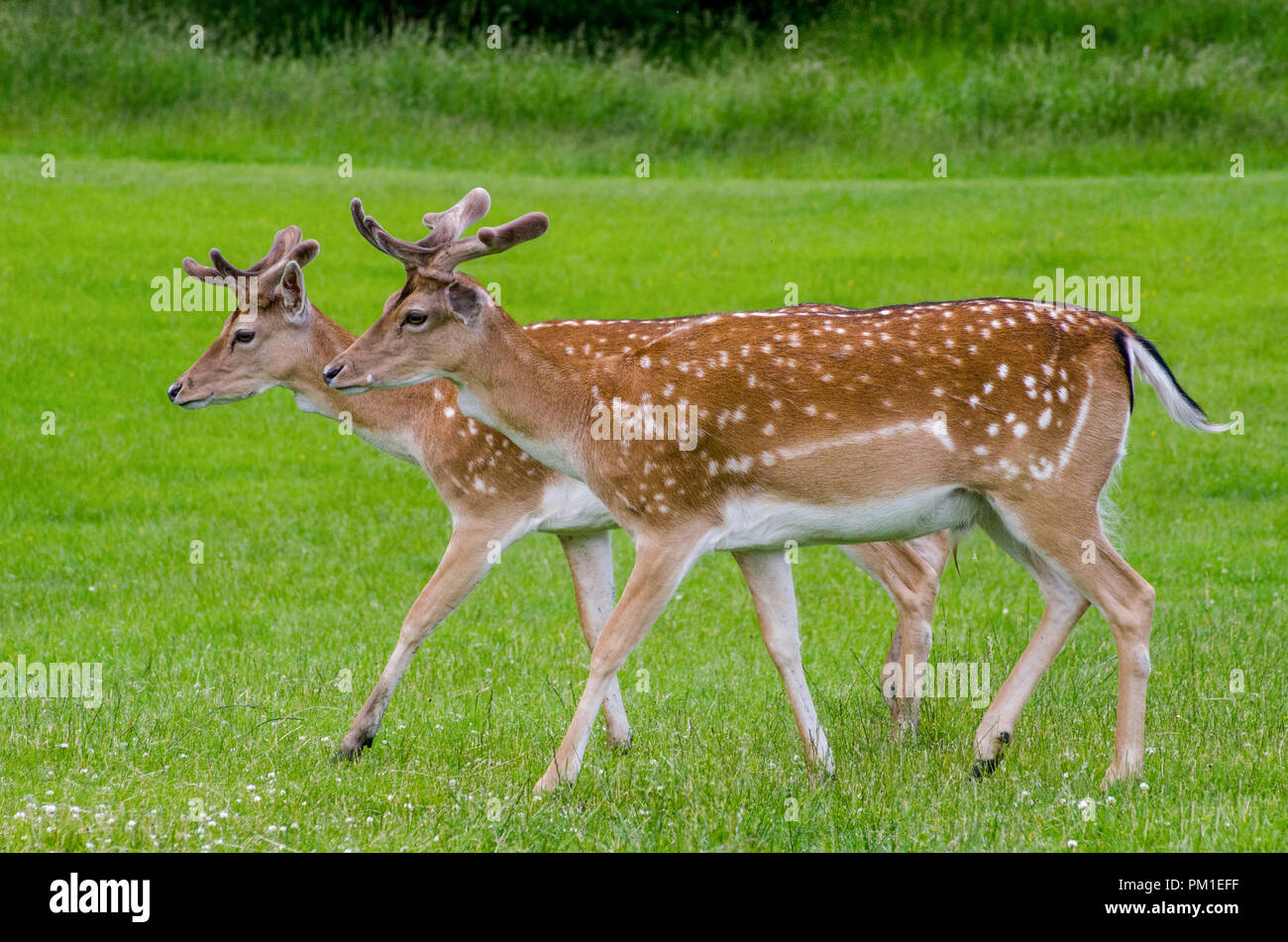 A rear view of two fallow deer as they walk on the grass in the meadow - Stock Image