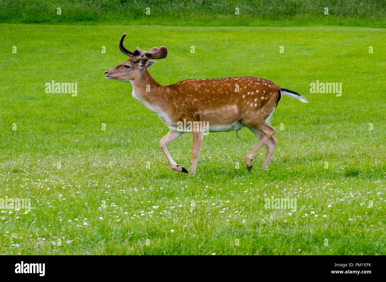 A side view of a fallow deer as it walks on the grass in the meadow - Stock Image