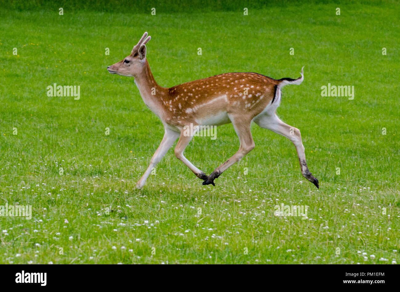 A side view of a fallow deer as it runs on the grass in the meadow - Stock Image
