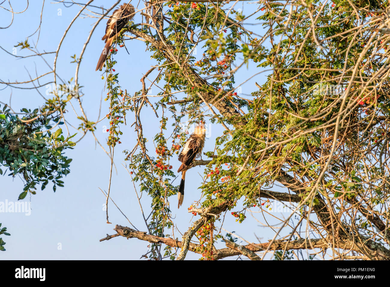bird in tree at the end of the day, scientific name Guira guira - Stock Image