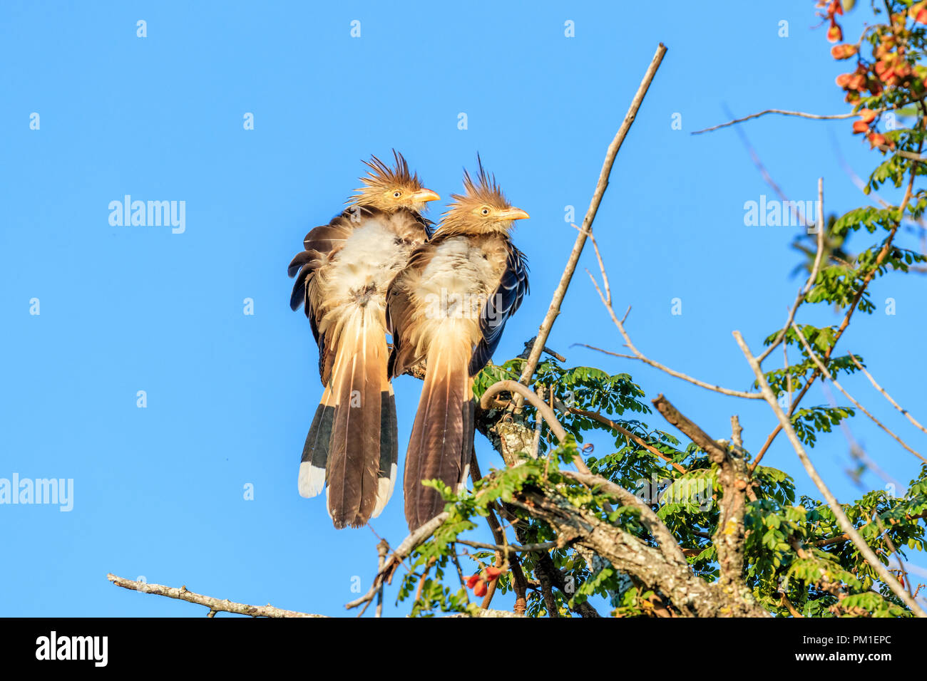 Couple of Brazilian birds on the tree, Scientific name Guira guira - Stock Image
