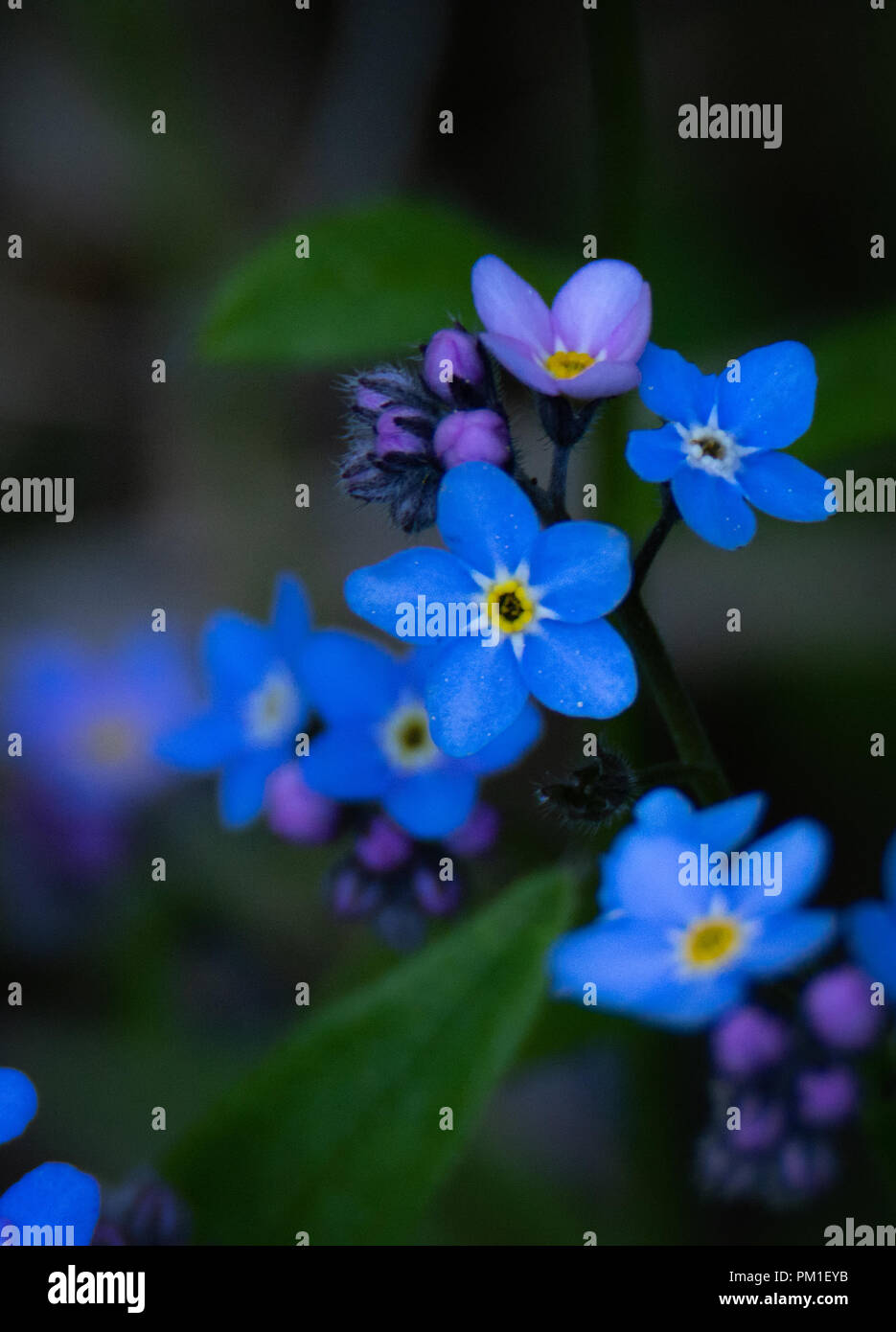 The vivid blue of the petals of a Forgot Me Not flower drive the darkness away. - Stock Image