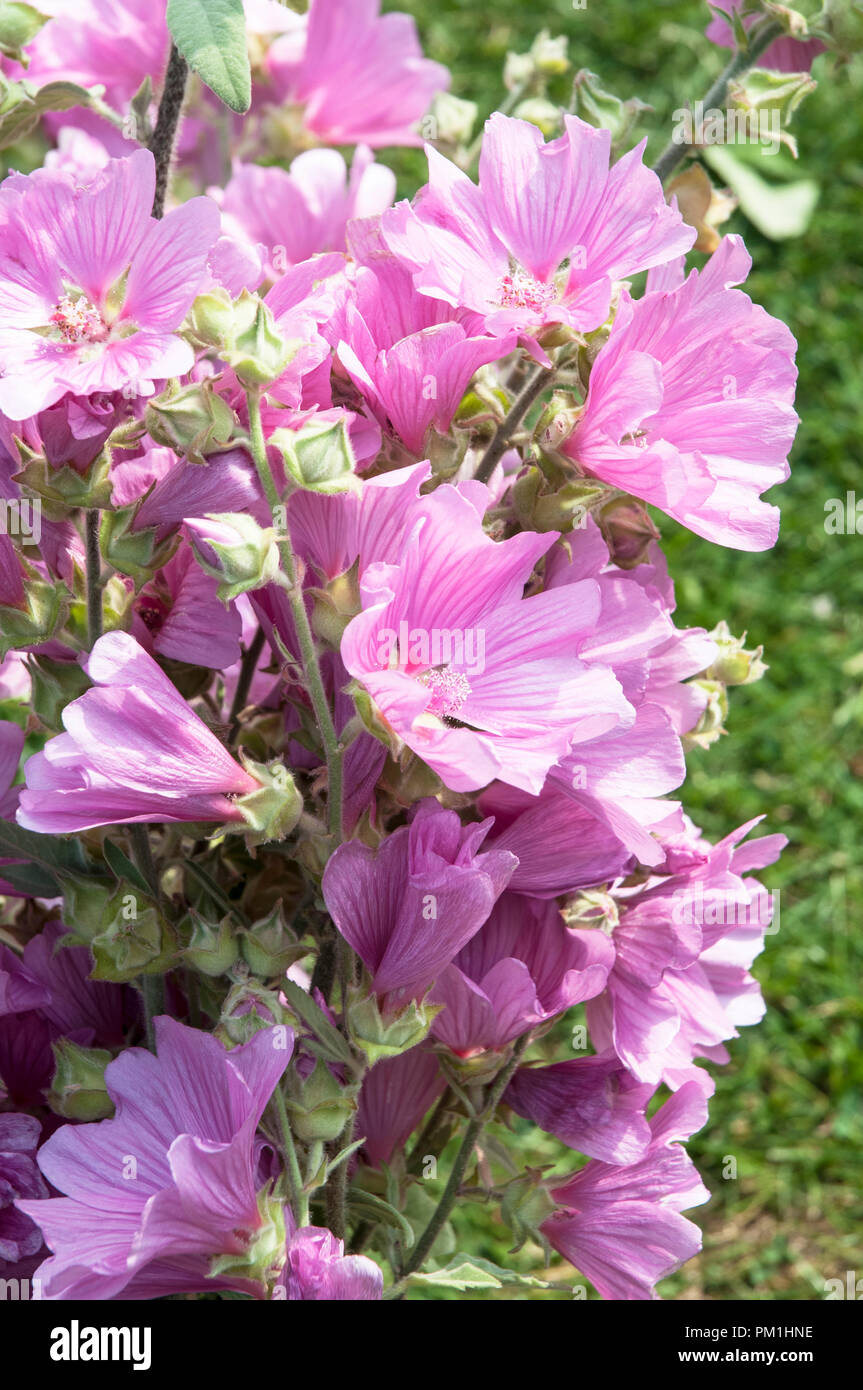 Close up of Lavatera olbia 'Rosea' in full flower - Stock Image