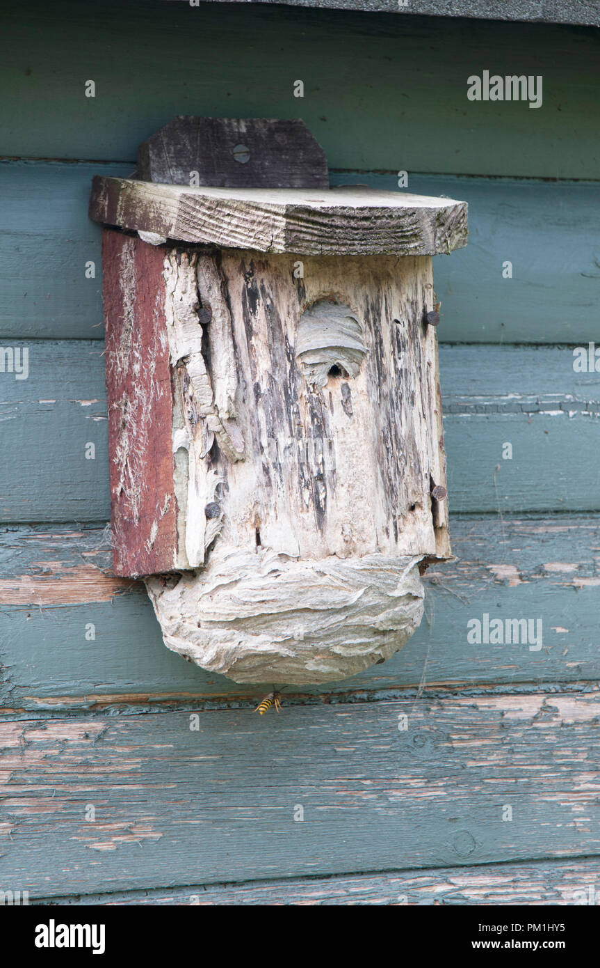 Wasp nest that has been built inside a Bird Box on shed. Showing various stages of wasps entering into the nest through the bottom entrance hole. - Stock Image