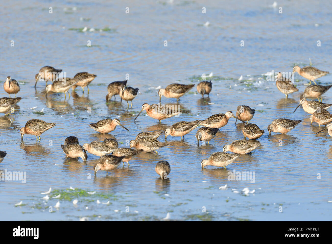A Flock of Sandpipers - Stock Image