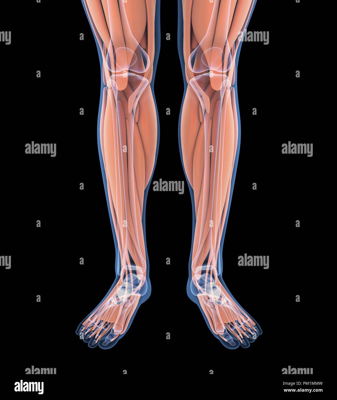 Leg Muscle Fiber Stock Photos Leg Muscle Fiber Stock Images Alamy