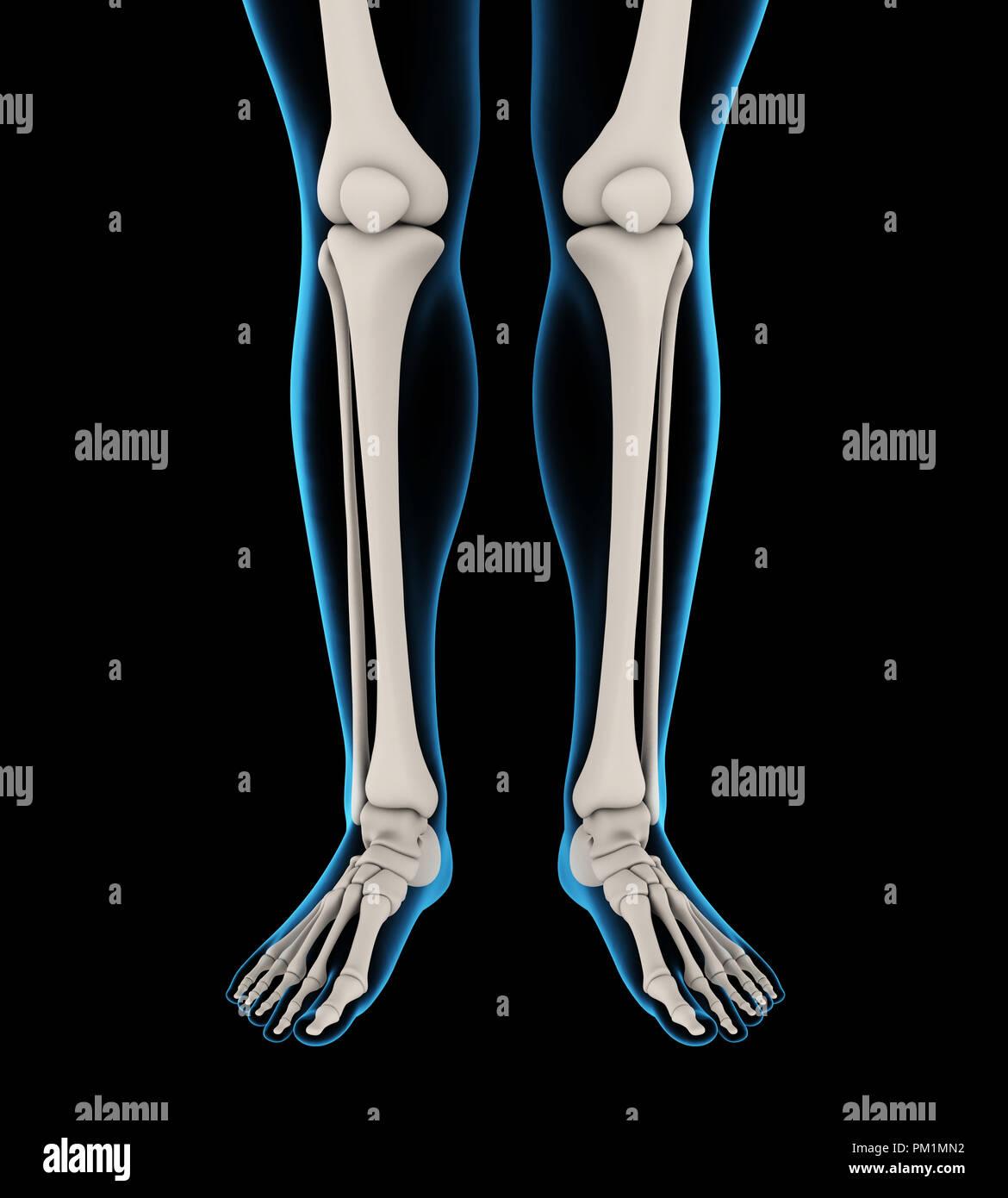 Human Femur Bone Stock Photos Human Femur Bone Stock Images Alamy