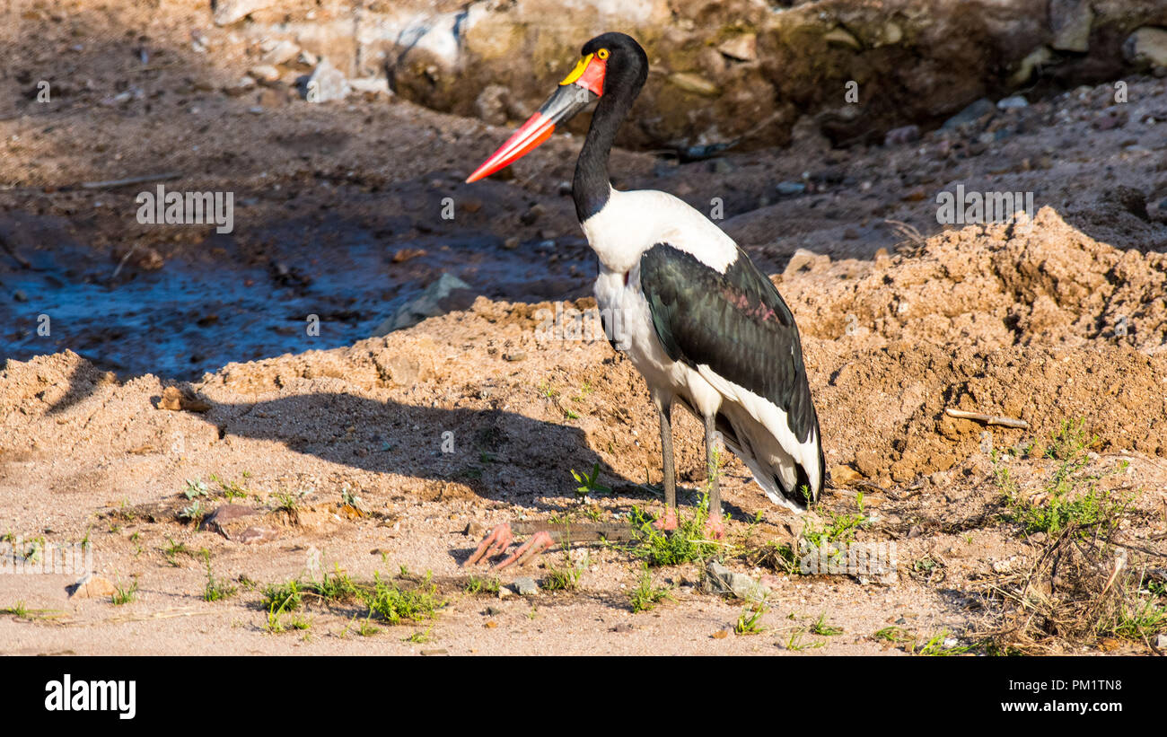 A saddle bill stork standing near water in the Kruger National Park. The ecological system has been damaged with construction - Stock Image