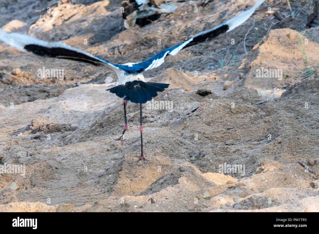 Two saddle bill storks standing near water in the Kruger National Park. The ecological system is damaged with the construction in their natural habit - Stock Image