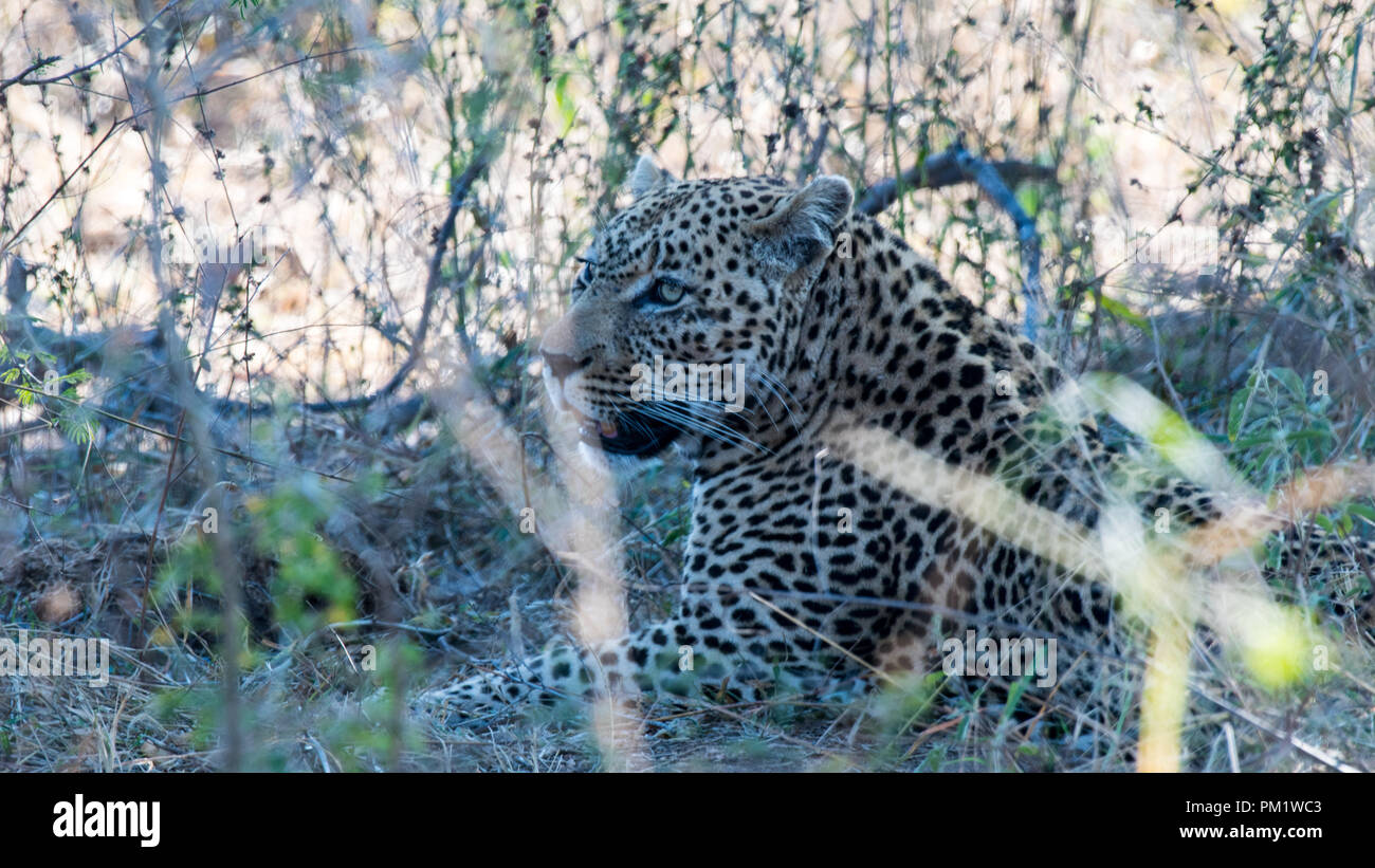 Leopard sighting in the wild with excellent camouflage in the Kruger National Park, South Africa. There is good natural light, excellent ground cover - Stock Image