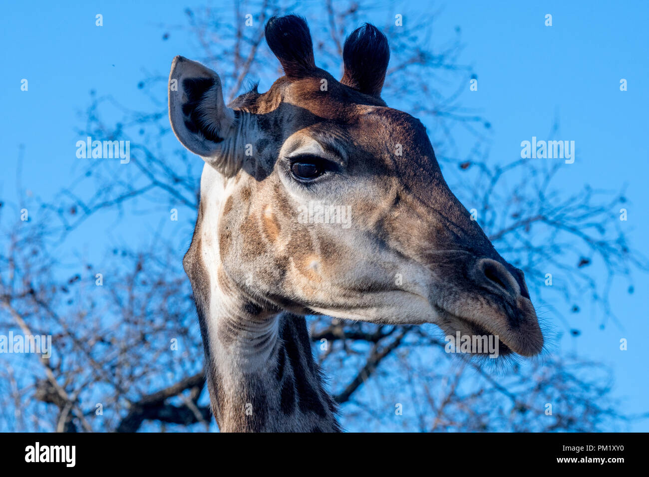 A close up of a giraffe with blue skies, trees and branches in the background. The image was taken in the kruger national park. - Stock Image