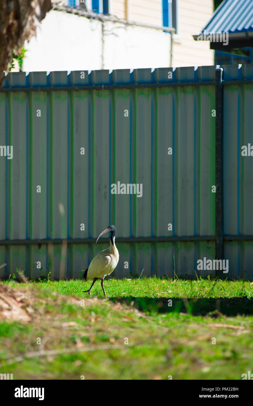 Australian bird looking for food at the back yard around Brisbane, Australia. Australia is a continent located in the south part of the earth. - Stock Image
