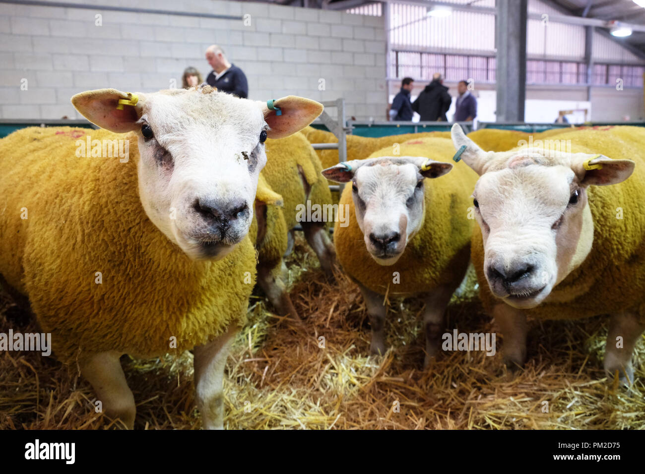 Royal Welsh Showground, Builth Wells, Powys, Wales - Monday 17th September 2018 - Texel rams look on as they await the start of the auction at the 40th annual National Sheep Association Wales and Border Ram Sales - over 5,000 rams will be auctioned today at this major NSA event. Photo Steven May / Alamy Live News Stock Photo