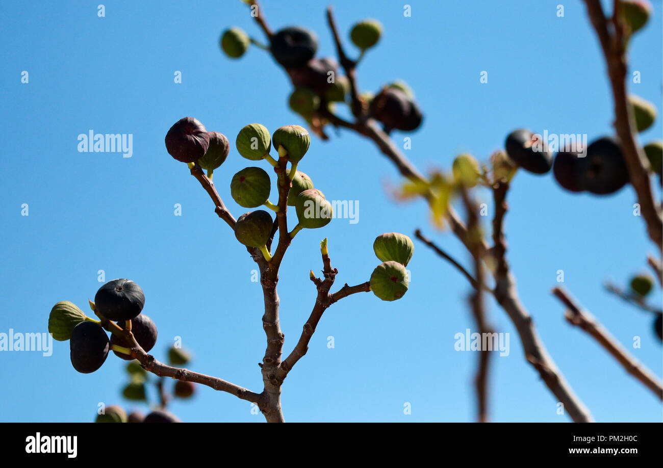 ARMYANSK, CRIMEA, RUSSIA – SEPTEMBER 17, 2018: Fig tree in the town of Armyansk, north Crimea, where high concentrations of sulphur dioxide have been confirmed following a sudden release of vapours of a toxic agent at the Krymsky Titan plant on the night between 23 and 24 August 2018; operations at Krymsky Titan, manufacturer of titanium dioxide pigment owned by Titanovye Investitsii, have been halted. Sergei Malgavko/TASS - Stock Image