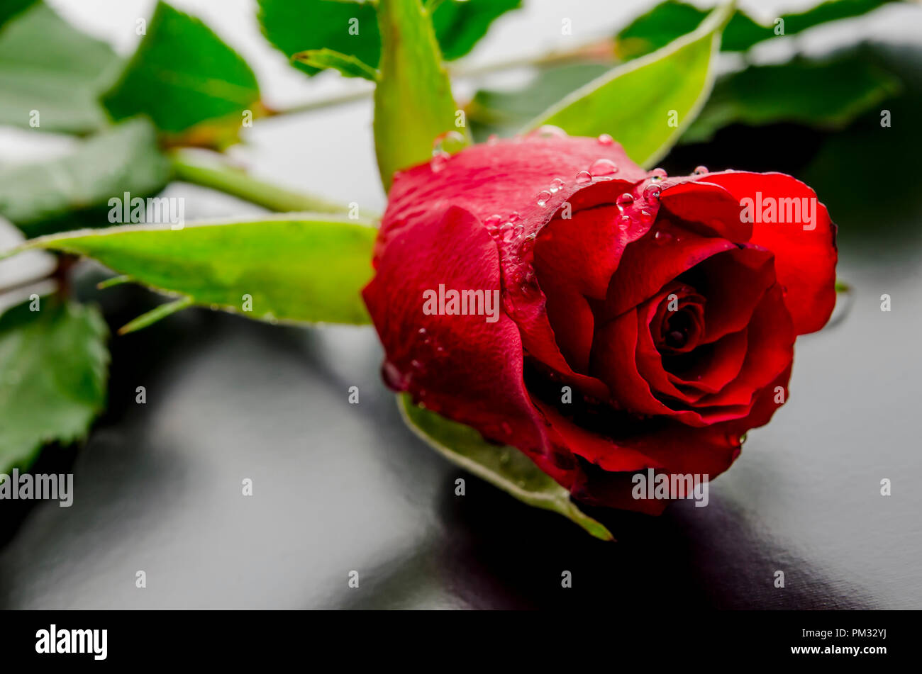 Beautiful Red Rose With Dew Drops Lying On A Black Background Stock Photo Alamy
