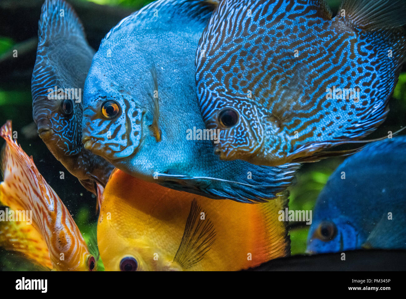 Colorful Discus Symphysodon Aequifasciatus Fish A Tropical