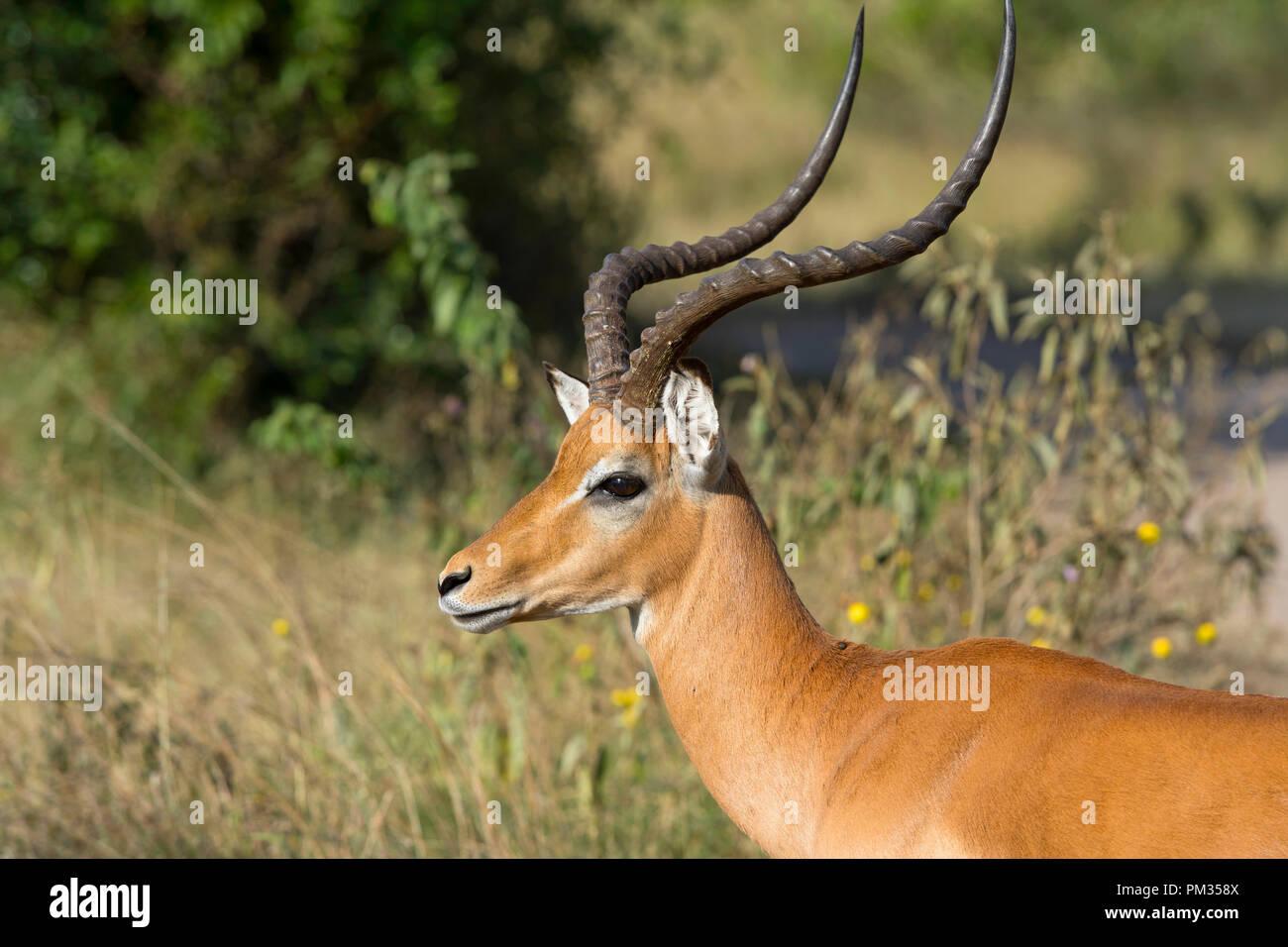 Impala, (Aepyceros melampus), Ram, Male Impala Stock Photo