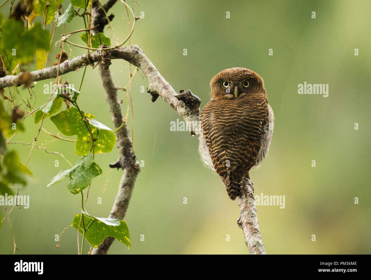 Jungle owlet or barred jungle owlet (Glaucidium radiatum) - Stock Image