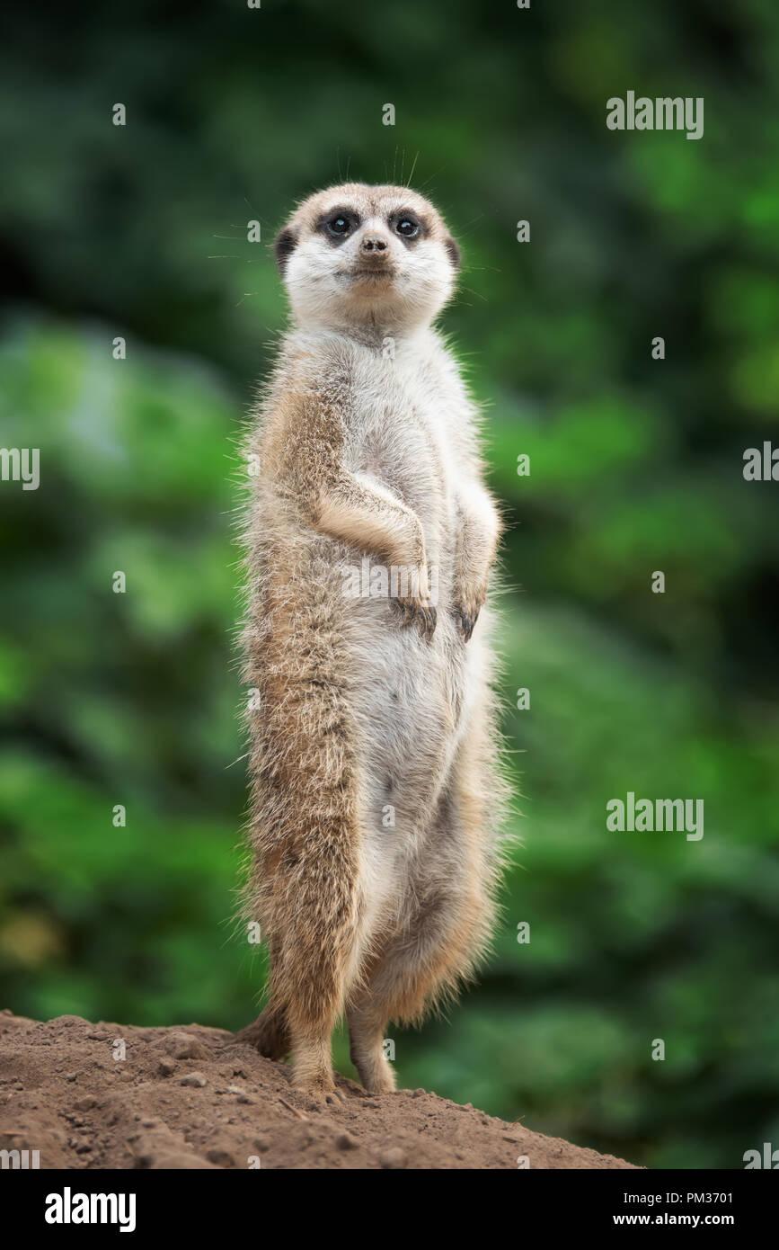 Cute meerkat standing looking for something - Stock Image