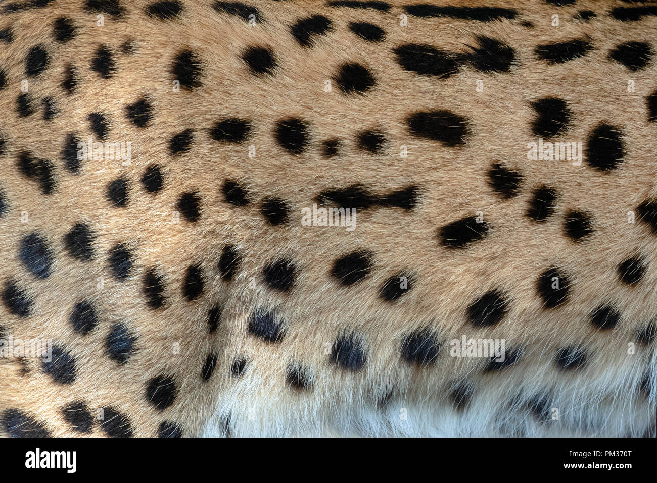 Real serval skin fur texture for background - Stock Image