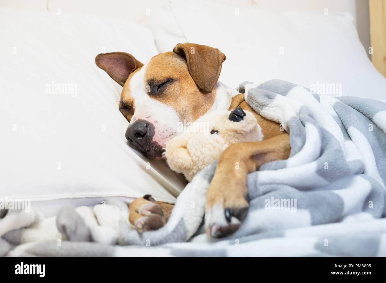 Sleepy cute dog in bed with a fluffy toy bear. Staffordshire terrier puppy resting in clean white bedroom at home - Stock Image