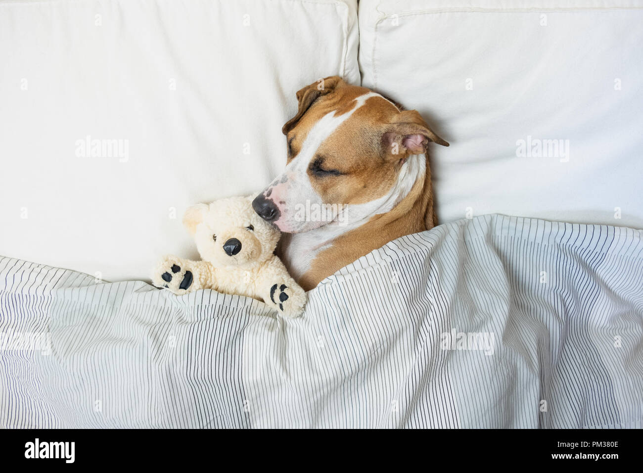 Cute dog sleeping in bed with a fluffy toy bear, top view. Staffordshire terrier puppy resting in clean white bedroom at home - Stock Image